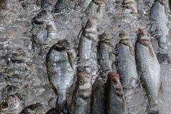 新鲜和狂放的被捉住的鲈鱼和海鲷 库存图片