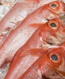 新鲜和野生被捉住的金眼鲷& x28; Beryx decadactylus, Chikame kintoki& x29; 免版税库存照片