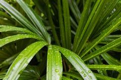 新鲜和绿色竹棕榈叶 免版税库存图片