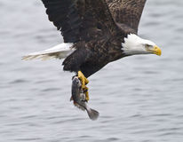 新鲜快速鱼的食物 免版税库存照片