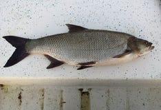 新鲜抓住的鱼 图库摄影