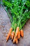 新鲜束的红萝卜 库存照片