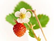 新鲜水果和花野草莓在绿色叶子背景 免版税库存照片