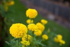 新鲜的万寿菊花在庭院里 图库摄影