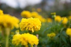 新鲜的万寿菊花在庭院里 免版税库存照片