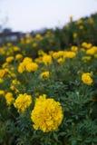 新鲜的万寿菊花在庭院里 免版税库存图片