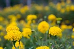 新鲜的万寿菊花在庭院里 库存图片
