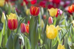 新鲜的五颜六色的郁金香 免版税库存图片