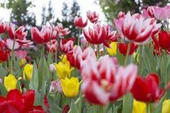 新鲜的五颜六色的郁金香 免版税库存照片