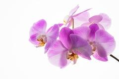 新鲜的兰花分支在白色背景的 库存图片