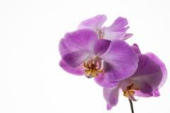 新鲜的兰花植物兰花分支在白色背景的 免版税库存照片