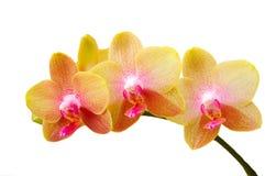 新鲜的兰花空白黄色 免版税图库摄影
