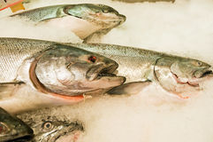 新鲜的冰三文鱼 库存照片