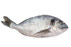 新鲜的冻结的dorado鱼 免版税库存图片