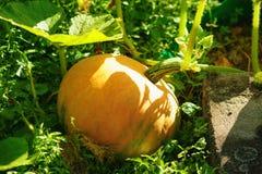新鲜的南瓜在农场 免版税库存照片