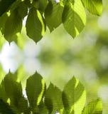 新鲜的发光的樱桃叶子特写镜头由垂悬象在明亮的bokeh拷贝空间b的帷幕上面被弄脏的镜象反射的太阳点燃了 图库摄影