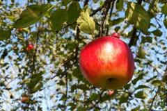 新鲜的发光的红色苹果计算机 库存图片