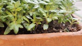新鲜的发芽的蕃茄幼木特写镜头在播种盘子-移动式摄影车射击的在春天 股票录像