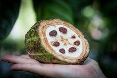 新鲜的可可粉果子在手上 关闭 未加工的恶裁减在斯里兰卡种植园 库存照片
