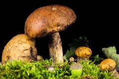 新鲜的可食的蘑菇 库存图片