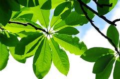新鲜的叶子木兰 库存图片