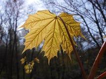 新鲜的叶子槭树 免版税图库摄影