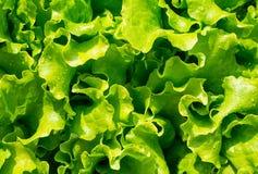 新鲜的叶子沙拉在家庭菜园的庭院里绿化 免版税库存图片