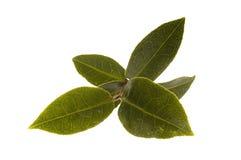 新鲜的叶子茶 免版税库存图片