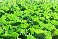 新鲜的叶子阳光蔬菜 免版税库存图片