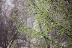 新鲜的叶子雨分支  免版税库存图片