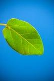 新鲜的叶子 免版税库存图片