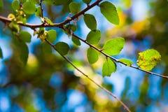 新鲜的叶子 免版税图库摄影