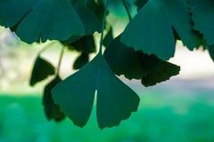 新鲜的叶子Ginko Biloba在城市公园 库存图片