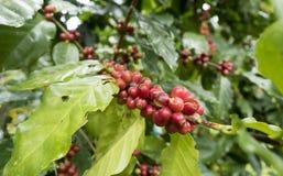 新鲜的咖啡种子 库存图片