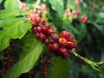 新鲜的咖啡种子 库存照片