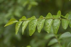新鲜的咖喱叶子。 图库摄影