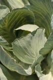 新鲜的圆白菜在一个小有机农场增长 免版税库存照片