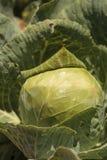 新鲜的圆白菜在一个小有机农场增长 库存图片