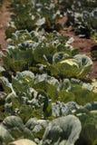 新鲜的圆白菜在一个小有机农场增长 库存照片