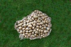 新鲜的土豆外面在草 免版税库存图片