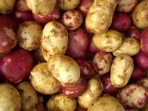 新鲜的土豆 免版税库存照片