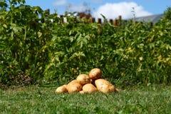 新鲜的土豆 库存照片