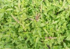 新鲜的圣洁蓬蒿在庭院里 库存照片
