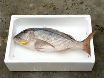 新鲜的地中海共同的海鲷 免版税图库摄影