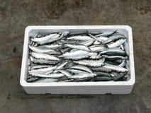 新鲜的地中海沙丁鱼, 库存照片