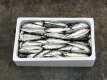 新鲜的地中海沙丁鱼 图库摄影