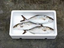 新鲜的地中海更加伟大的琥珀鱼 免版税图库摄影