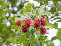 新鲜的垂悬在早午餐树的红毛丹云翳lappaceum热带水果 免版税库存照片