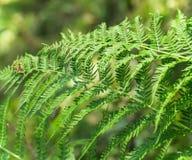 新鲜的夏天蕨植物 免版税库存照片
