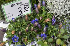 新鲜的多年生植物开花植物enzian在aut的一个街市上 库存图片